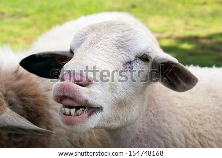 Funny sheep portrait, head and face of sheep - stock photo