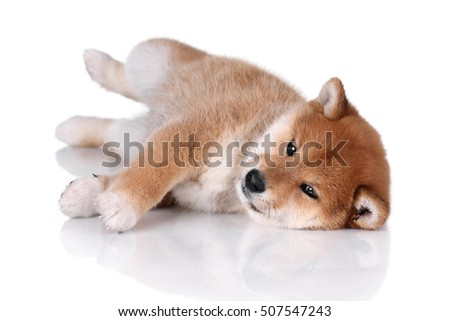 Funny Shiba Inu puppy lying on a white background
