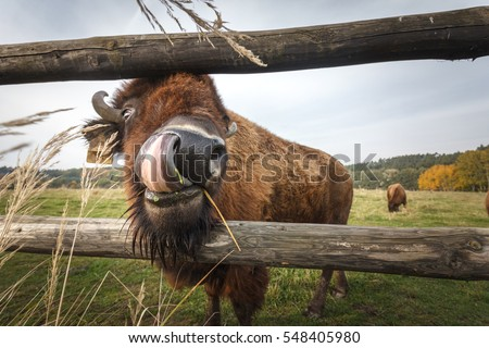 Funny shot of American bison licking his own nose