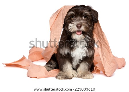 Funny smiling dark chocolate havanese puppy dog is playing with peach toilet paper, isolated on white background - stock photo