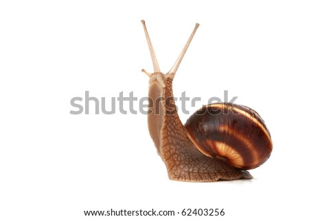 funny snail ,isolated on white background - stock photo