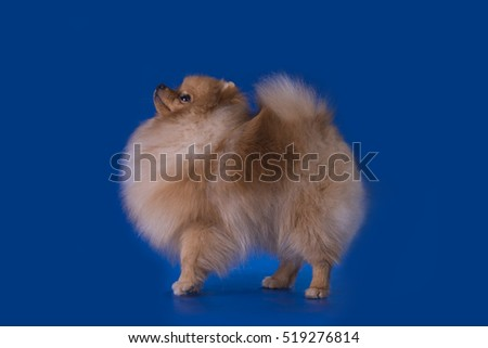 funny spitz a background isolated