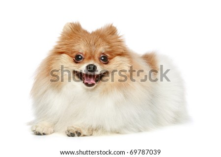 Funny Spitz puppy lying on a white background