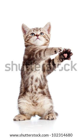 funny standing playful kitten isolated on white background