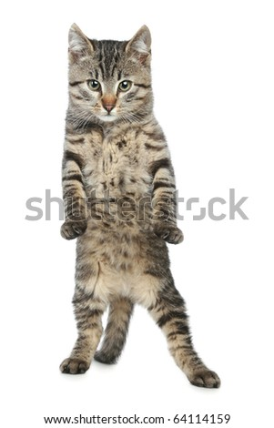 Funny, striped kitten stands on back paws - stock photo