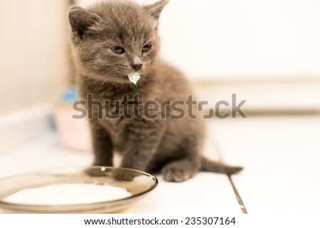 funny sweet little kitten drink milk, a Briton - stock photo