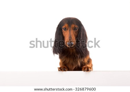 Funny Teckel Dachshund puppy over a white banner, isolated