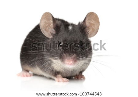 Funny tiny mouse close-up portrait on a white background