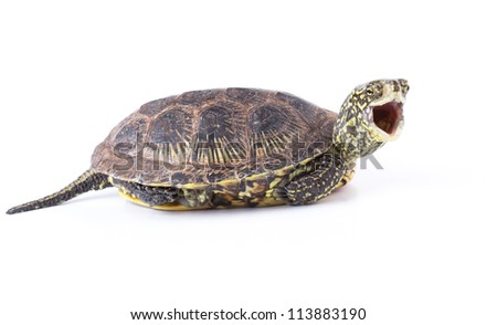Funny turtle with  mouth wide open isolated on white background