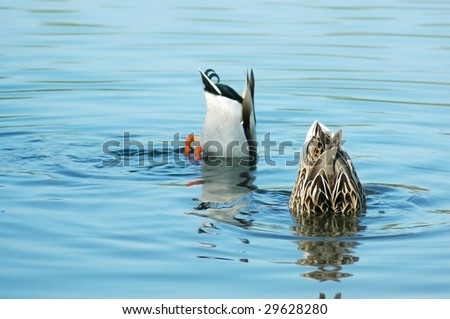 Funny. Two ducks fishing in the water with only their bums exposed - stock photo