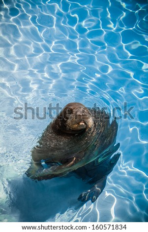 Funny Walrus in a pool looking at the camera. With room for text - stock photo