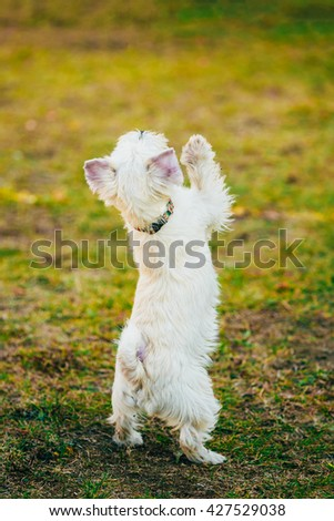 Funny West Highland White Terrier - Westie, Westy Dog Dancing On Grass - stock photo