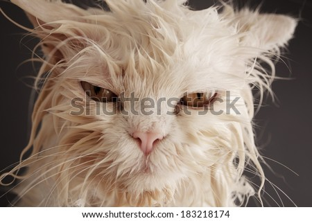 Funny wet cat  - stock photo