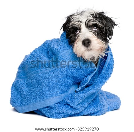 Funny wet havanese puppy dog after bath is covered with a blue towel, isolated on white background