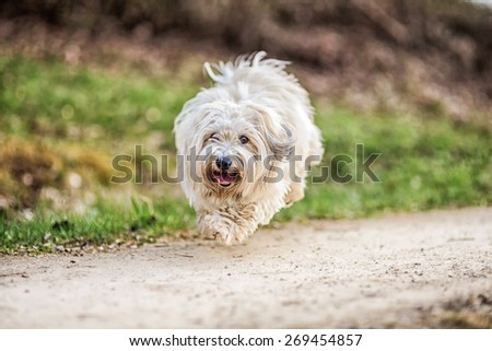 Funny White and brown small dog playing on a spring meadow in the evening. Coton de Tulear breed. Shallow depth of field. Color Filters
