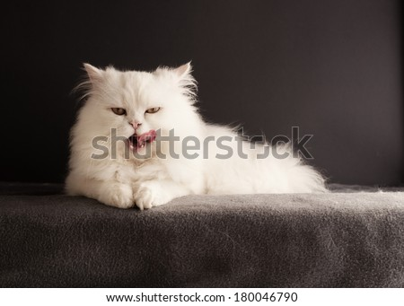 Funny white cat licking its mouth