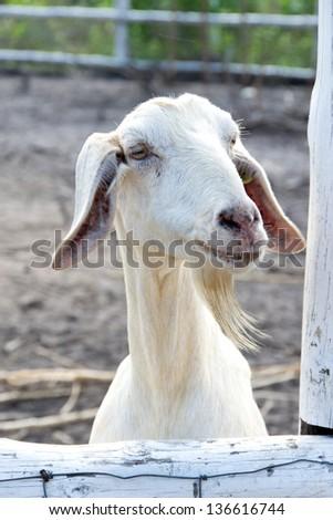Funny white goat - stock photo