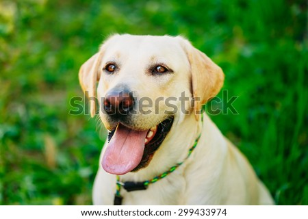 Funny White Labrador Retriever Dog Close Up Portrait On Green Grass Background - stock photo