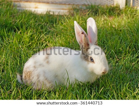 Funny white rabbit in grass