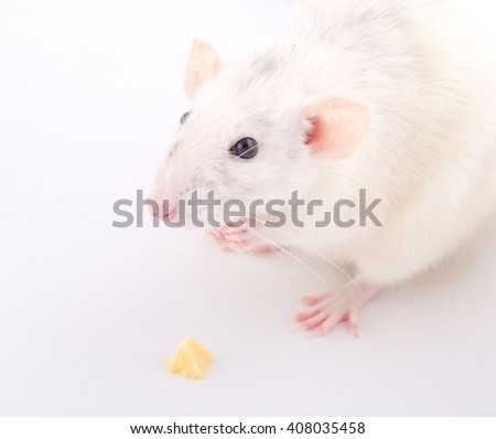 Funny white rat sitting with its front paws folded next to a small piece of cheese (selective focus on the rat muzzle) - stock photo