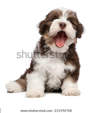 Funny yawning chocolate and white colored havanese puppy dog is sitting, isolated on white background