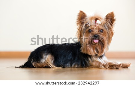 Funny Yorkshire Terrier laying on laminated floor