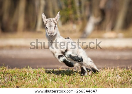 Funny young goatling playing outdoors