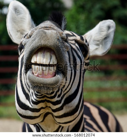 Funny zebra open mouth and show teeth - stock photo
