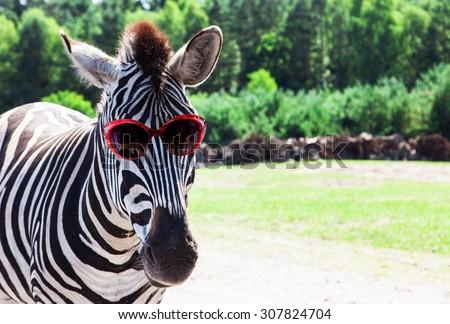 Funny Zebra with sunglasses - stock photo
