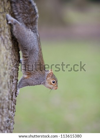 Funy squirrel hanging upside down on a tree.