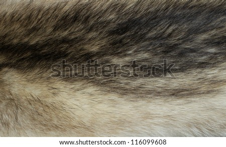 fur of a raccoon - stock photo