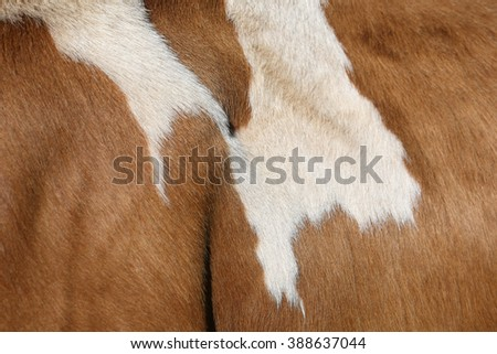 Fur of a Simmental cow in Switzerland - stock photo