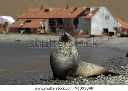 Fur Seal - stock photo