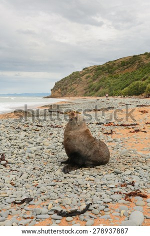 Fur Seal (Kekeno) on the beach, Oamaru, New Zealand