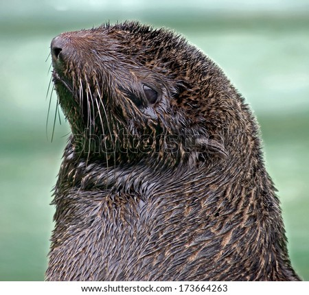Fur seal. Latin name - Callorhinus ursinus