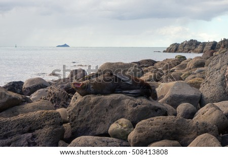 Fur seal resting and yawning on a big rock on the seashore of Mount Maunganui, Tauranga, New Zealand