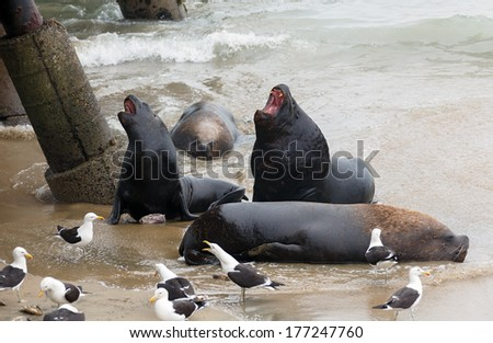Fur seal (sea lions) rookery and birds on the beach near the fishing port in Valparaiso - Chile - stock photo