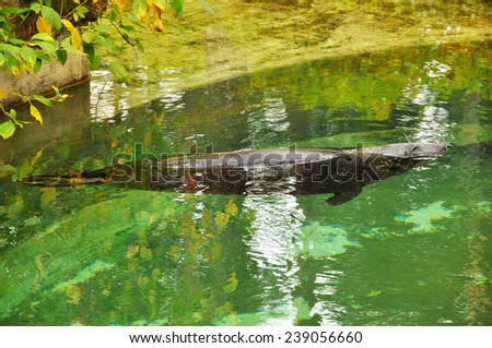 fur seal swimming in the pool - stock photo
