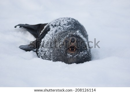 Fur Seal, who growls. - stock photo