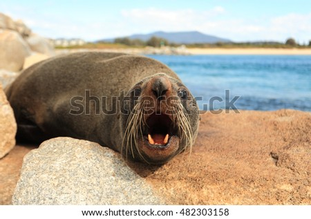 Fur seals have large eyes, a pointed face with whiskers and sharp teeth. The Australian Fur Seal, Arctocephalus pusillus doriferus is the largest of all the fur seals.