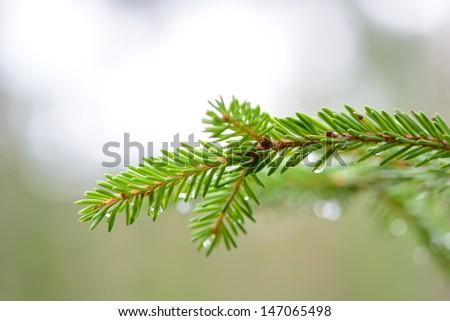 Fur-tree branch close-up - stock photo