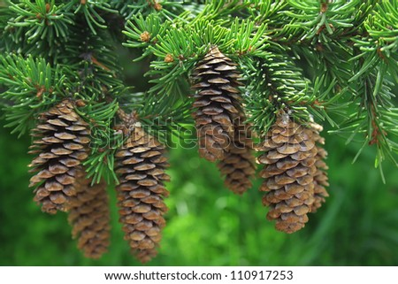 Fur-tree branch with cones on a green background
