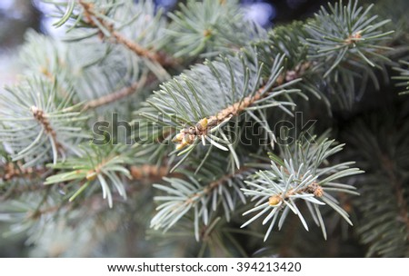 Fur tree evergreen branches closeup macro view