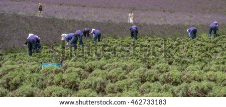 FURANO, JAPAN - AUGUST 1ST, 2016. Workers harvesting blooming lavender flowers in a lavender farm in Furano, Hokkaido, Japan. Furano is famous for its lavender field during summer.