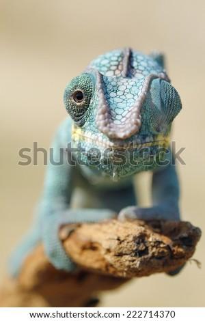 Furcifer pardalis - stock photo