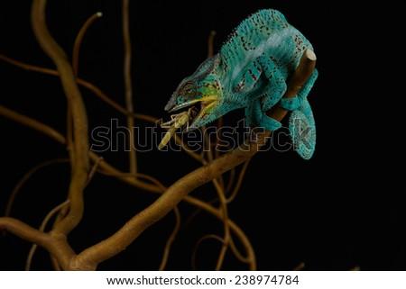 Furcifer pardalis. Blue, white, orange and yellow chameleon isolated on black background. Nosy Be.  - stock photo