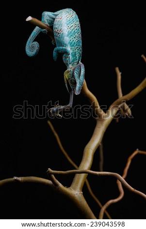 Furcifer pardalis. Blue, white, orange, green and yellow chameleon isolated on black background. Nosy Be.  - stock photo