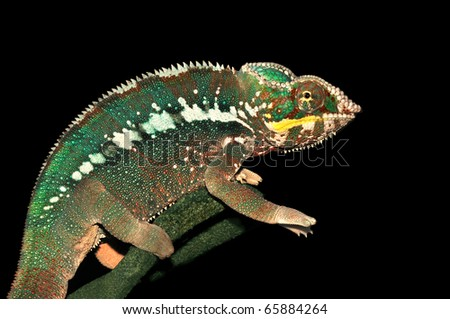 Furcifer pardalis (Panther Chameleon) is sitting on a branch of a tree. Black background.