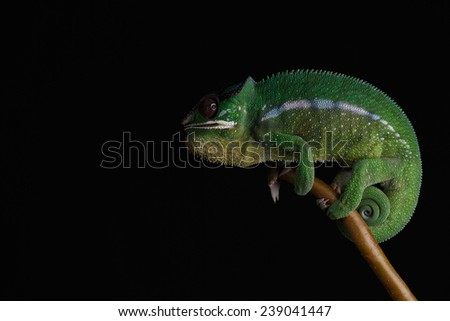 Furcifer pardalis. White, green and yellow chameleon isolated on black background. Nosy Mitsio.