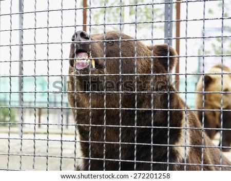 Furious brown bear grab teeth mesh of fense, Safari Park Taigan, Crimea. - stock photo